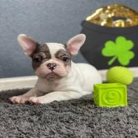 Preciosos cachorros de bulldog francés para adopción.